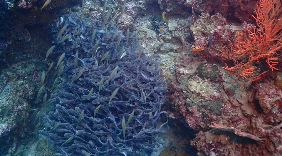 Striped eel catfish